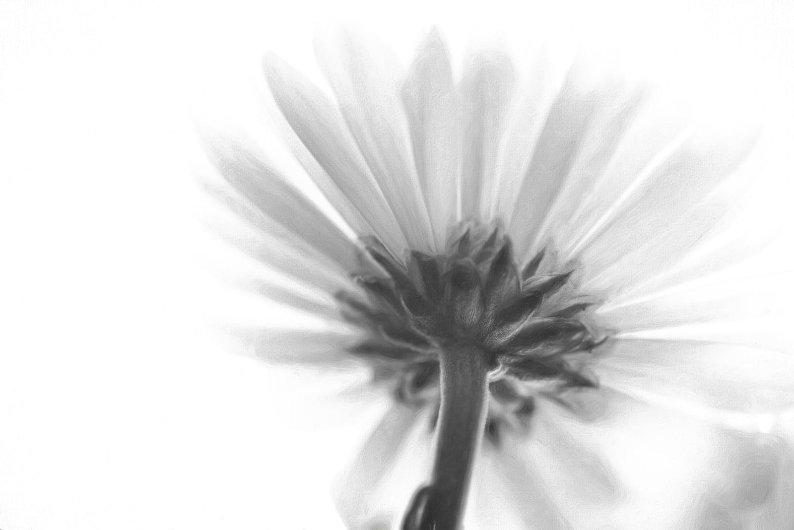 Black and White Daisy