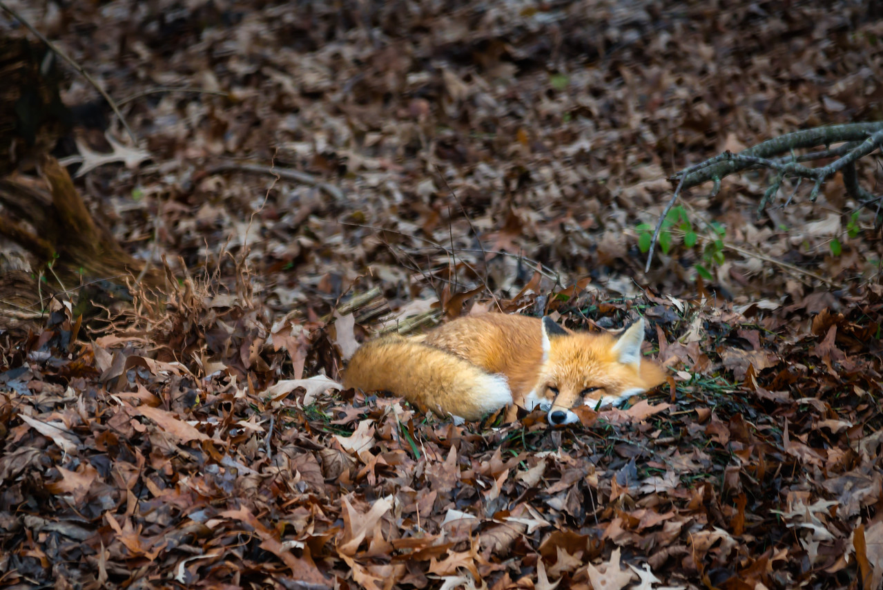 The Fox's Nap