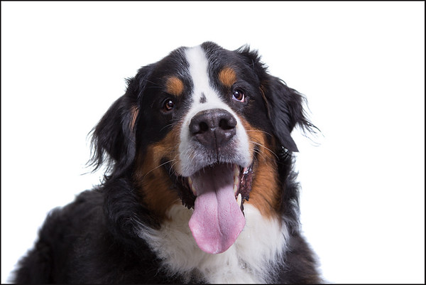 pet photography headshot