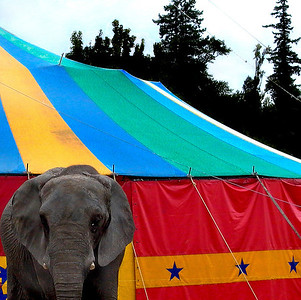 Portrait of a circus Elephant which spent over a decade touring New Zealand with Whirling Brothers Circus.