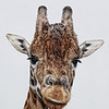 A Giraffe at Hamilton Zoo.