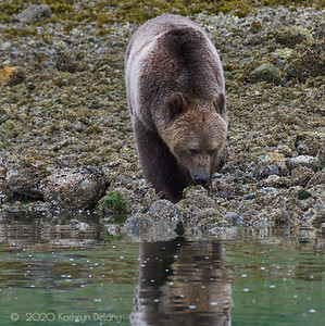 Grizzly at waters edge