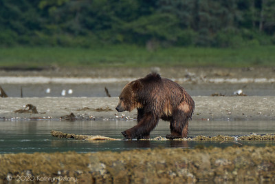 Grizzly bear, foraging