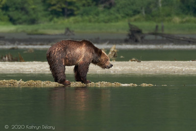 Grizzly Bear on a log