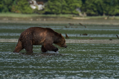 Grizzly bear head home
