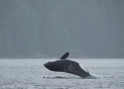 Orcas playing