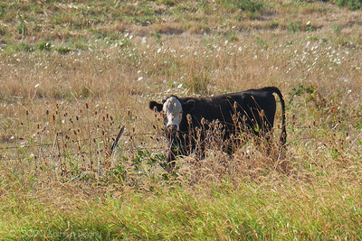 A cow in the reserve