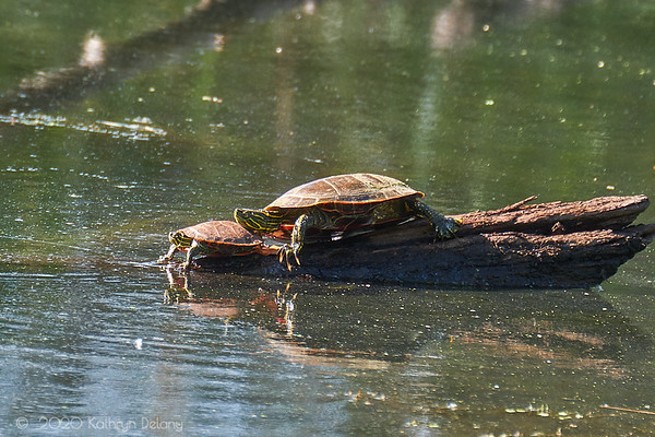 Turtles in the sun
