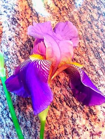 photo of an Iris