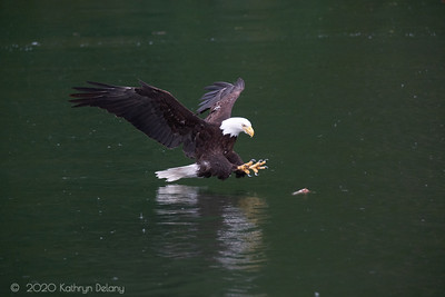 Bald Eagle about to snatch a rock cod