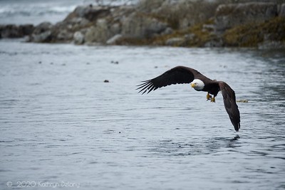 Bald Eagle with Hake