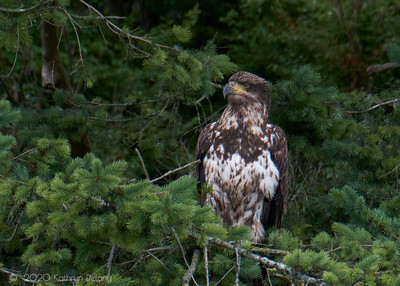 Juvenile Bald Eagle looking fierce