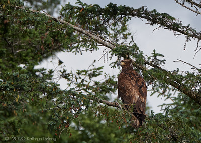 Juvenile Bald Eagle in the fir tree