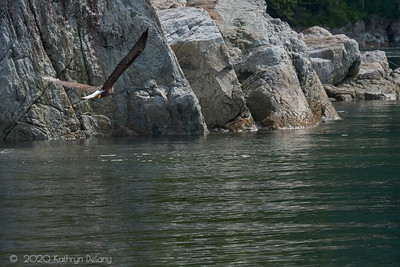 Bald Eagle in approaching the rocks