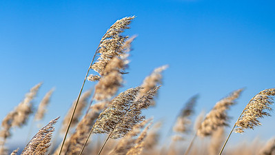 Testing my Sonys focus lock on mode, even when it was really windy outside today it managed to keep focus on the reed at f/1.8, which is really impressive.***Sony a7RIII + Sony 85mm f/1.8***@sonyalphasuomi @sonynordic