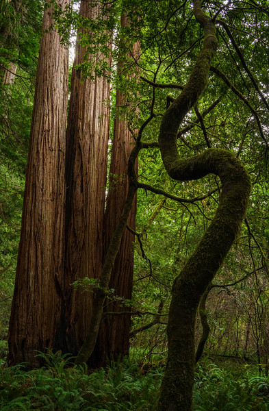 Forest Portrait: The S Tree | Redwood National and State Park