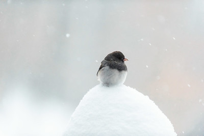 Junco, Guilford