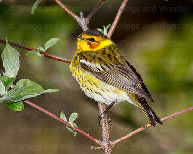 Cape May Warbler-1001