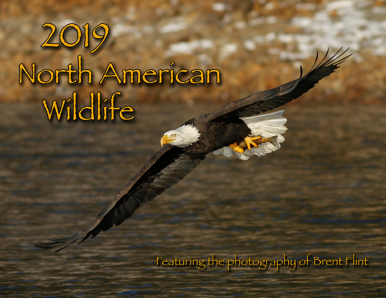 bald eagle in flight with salmon, Kootenai County, ID.