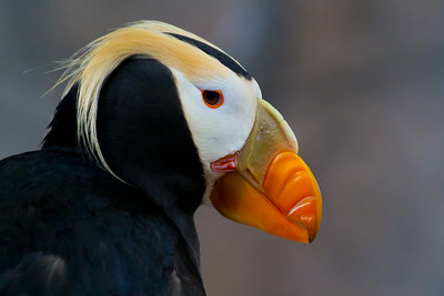 Tufted puffin - Alaska Sealife Center, Seward