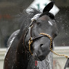 Mr. Hot Stuff is bathed after a gallop in preparation for the Belmont Stakes. 6.6.2009