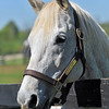 Silver Charm at Old Friends Equine Retirement Farm in Lexington, KY.