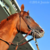 California Chrome at Belmont Park