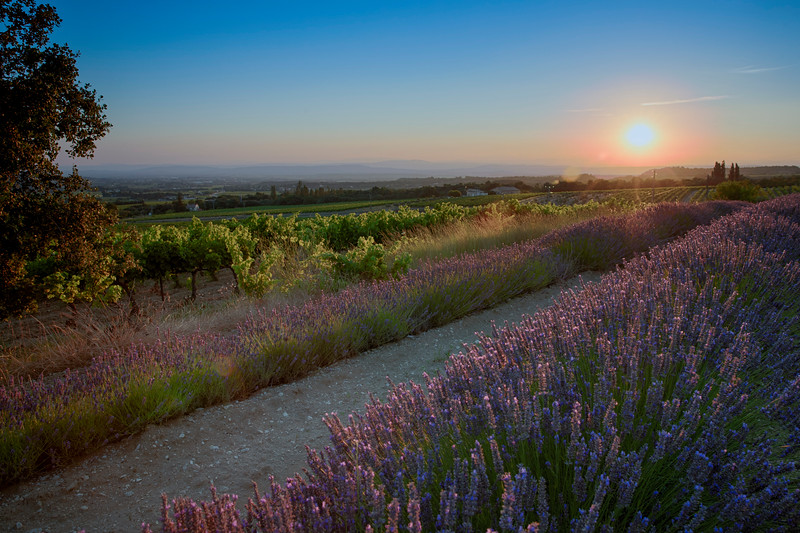 Lavender fields in the sunset