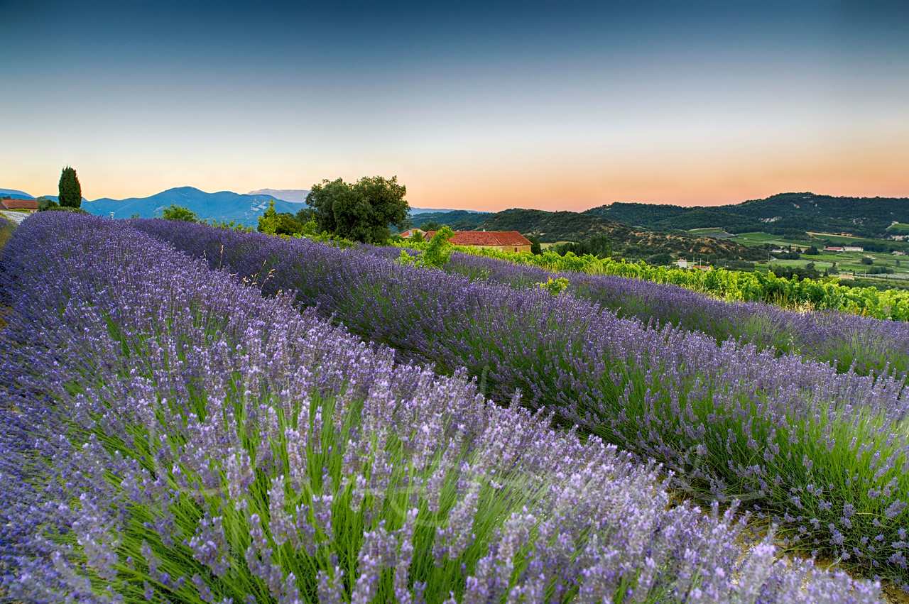 Lavender fields in the sunrise