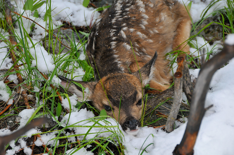 1707: Mule Deer Fawn in Spring Snow