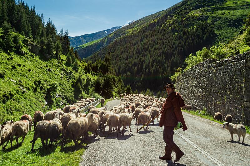 Shepherd manages his flock along the Transfăgărășean Highway in the Carpathian Mountains, Romania