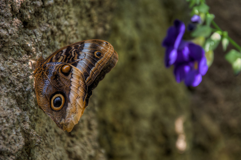 """<h3 style=""""text-align: left;""""><strong>Today's Photo:  Hidden Colors </strong></h3> <strong></strong>I am one of those few people who actually like bugs.  That makes it okay when we stop by the butterfly exhibit at the Chattanooga Aquarium.  In the wild, there is very little chance of having one of these beauties light on your fingertip.  However, here, it is a common occurrence.  It is not uncommon for me to hold several different ones when I stop by.  This one I could not pass up with a little colorful soft focus in the background."""