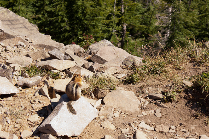 "<h3><strong>Today's Photo:  My Little Friend the Chipmunk</strong></h3> I am usually not a snap shot type person.  I try to make sure the composition, exposure and framing are all the way I want.  However, I found this little guy on top of a mountain in Oregon.  I set the tripod up and was taking a few shots when, up popped it's little head.  It is rare to find something that was this friendly in the East.  I think there is an in grown distrust of humans in the Eastern U.S. which I wonder if it is there at least in the mountains of Oregon.  So, this little bugger was just about five feet from me when I took this photo.  It was not a bad day taking photos of <a title=""Mount Hood"" href=""http://justshootingmemories.com/2011/04/09/mount-hood/"">Mount Hood</a>.  Just me, the Chipmunk and a camera.  Read more at the <a href=""http://justshootingmemories.com"" rel=""nofollow"">Daily Photography Blog</a> Just Shooting Memories!..."