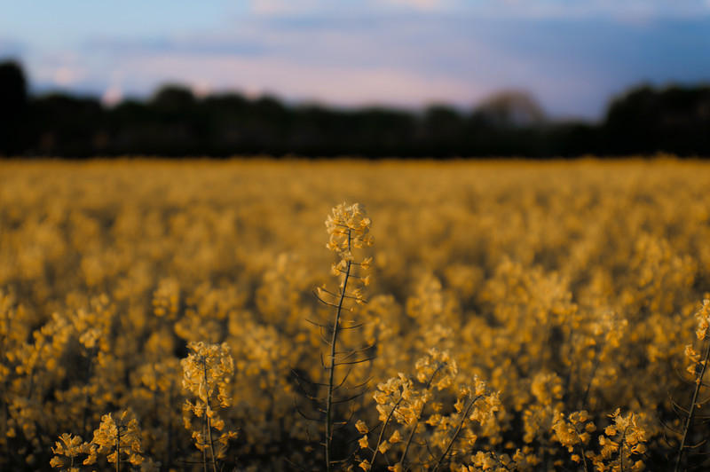 Field in Bloom