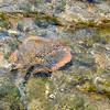 Blue Spotted Stingray, Australia