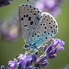 Large Blue butterfly on lavender