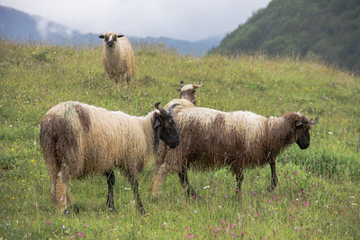 Sheep, Lukomir hills