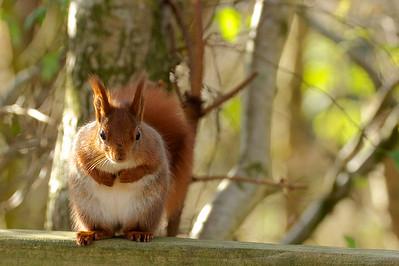 red squirrels Escot