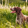 German Short Haired Pointer