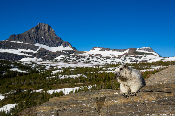 A Yellow-bellied Marmot - Marmota flaviventris catches some more sunshite in Glacier National Park.