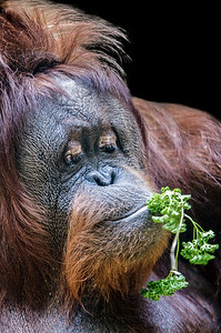 Orangutan eating parsley