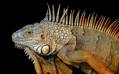 Head close-up of green iguana