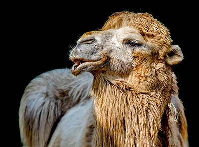 Head closeup of a Bactrian camel