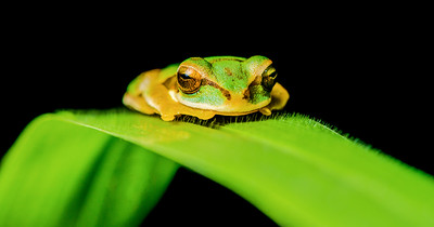 Tree frog on a green leaf