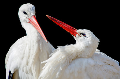 European white storks clasp each other's bills