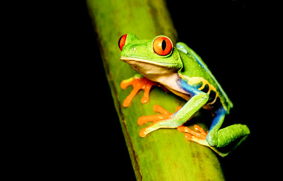 Red-eyed Treefrog sitting on a leaf
