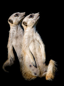 Two meerkats sitting next to each other