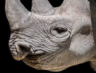 Rhinoceros face close-up