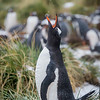 Gentoo Penguin, Gold Harbour