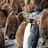 Adult King Penguin, Salisbury Plain